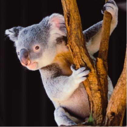 Koala UNSPLASH vita vilcina 93q1OMq5uHE 1