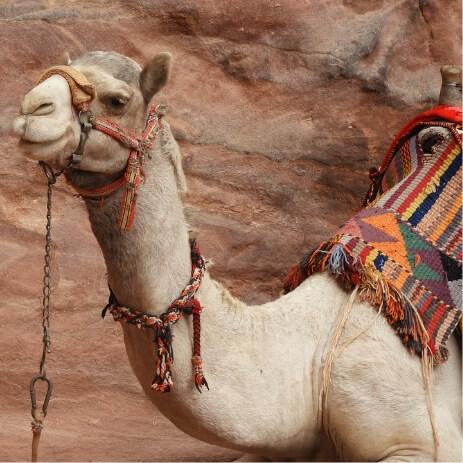 chameau jordanie
