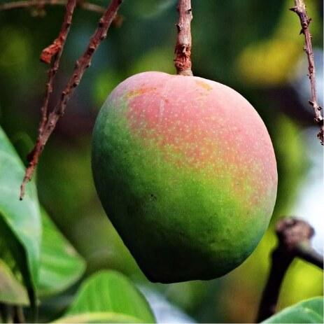 mangue Guadeloupe
