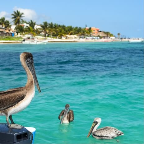 pelican cozumel