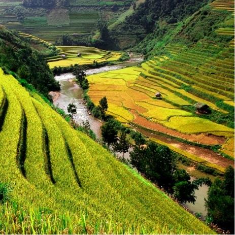 Risière, Vietnam