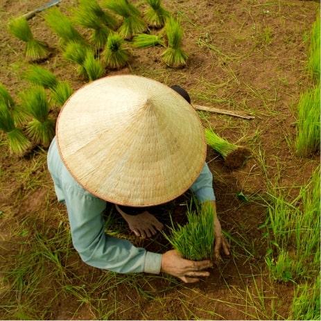 Rizière récolte, Vietnam